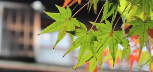 蘇州園の色つく紅葉